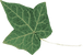 transparent-ivy-leaf-300x198.png