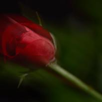 Rose Blended motion blur 5708.jpg
