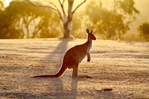 Avo Kangaroo