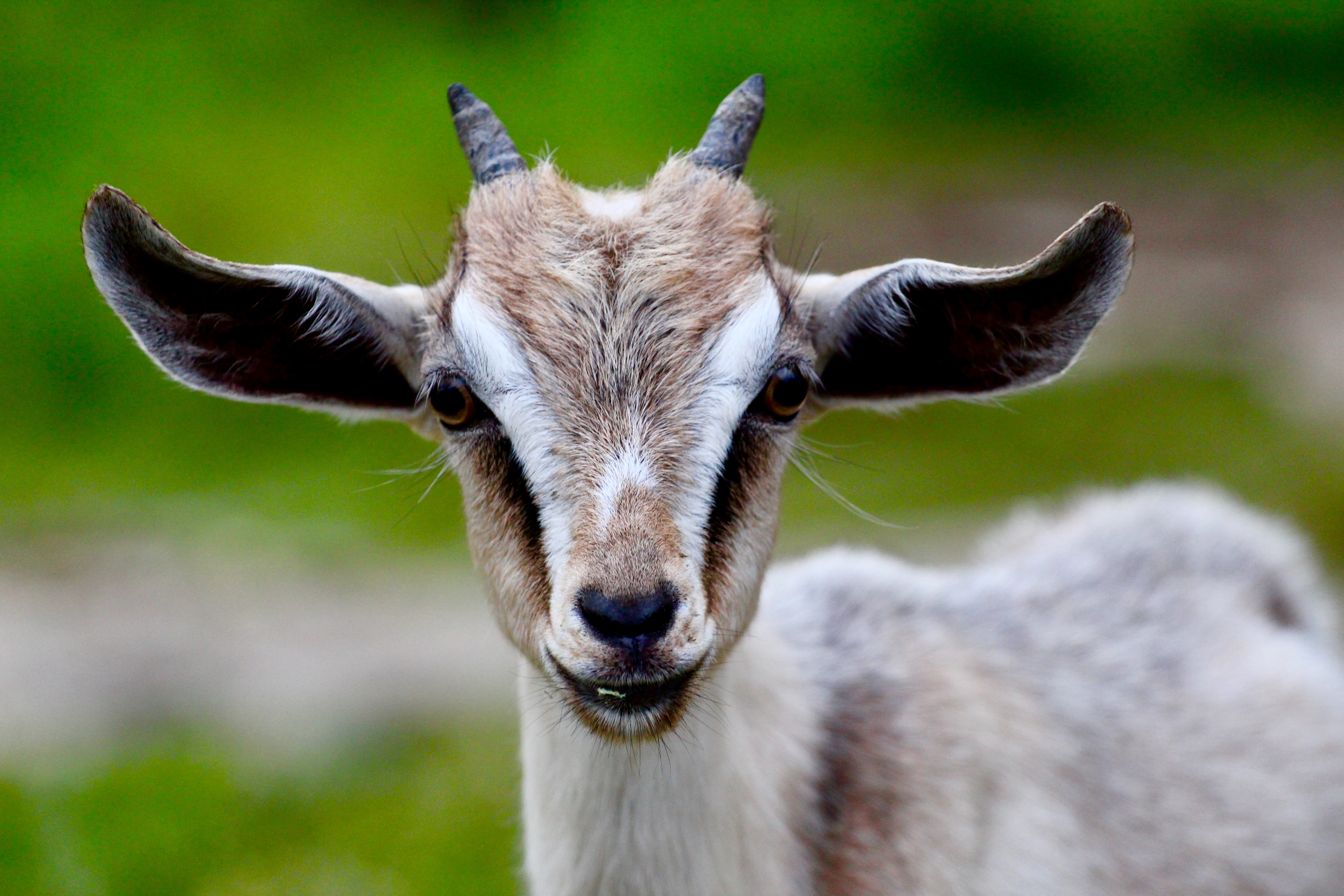 pygmy goat with charm