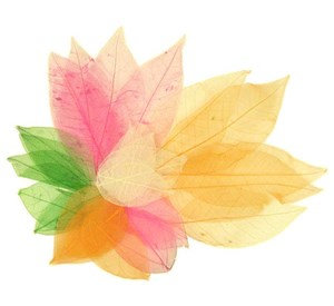 Skeleton Leaves - Assorted Colour Pack