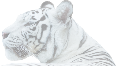 white%2Btiger%2Bhead_edited.png