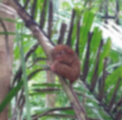 close up of a tarsier in bohol, philippines