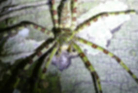 A big hutsman spider camoflaged onthe tree