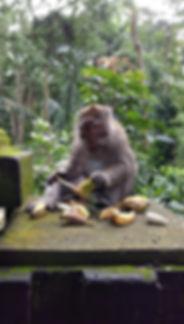 Monkey scoffing bananas at the monkey forest in ubud bali