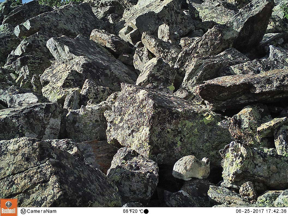 A pika mooning the camera in broad daylight.