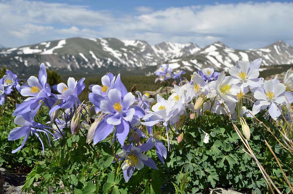 Colorado blue columbine on Niwot Ridge