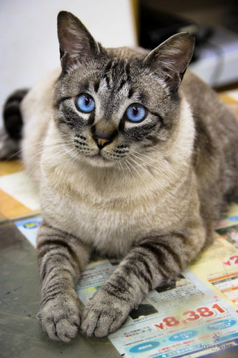 japanese cat-1.jpg