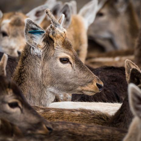 Tas Weekend - Deer Farming