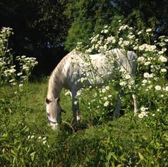 Sherdan auf der Weide