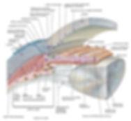 Angolo irido - corneale