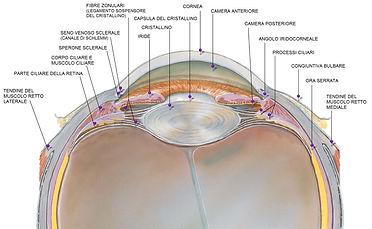 Segmento anteriore occhio