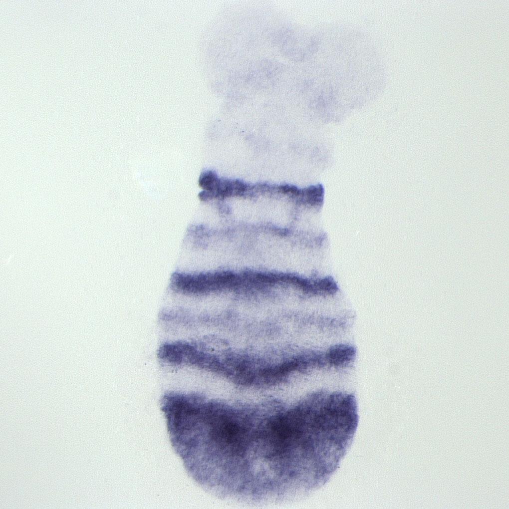 Tribolium embryo