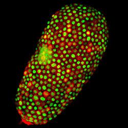 Tribolium oocyte