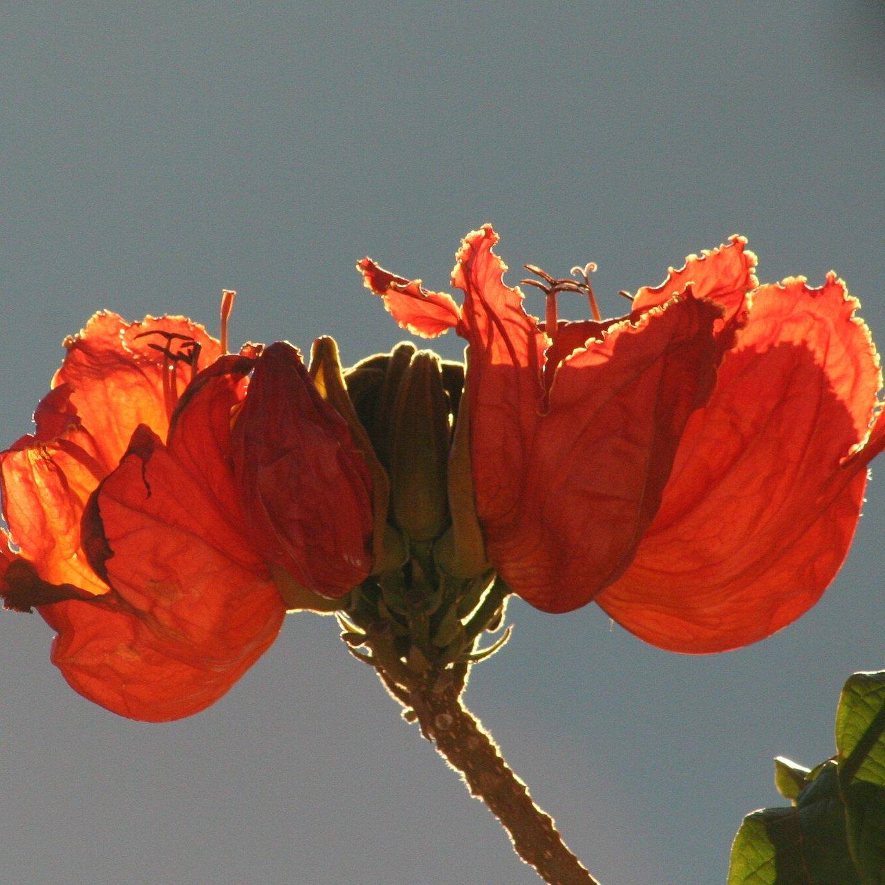 BLOEM IN KNYSNA (Zuid-Afrika)