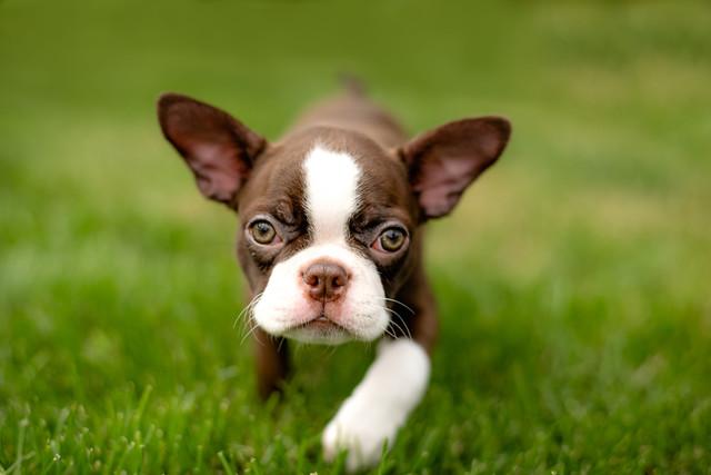 PuppyBostonTerr.jpg