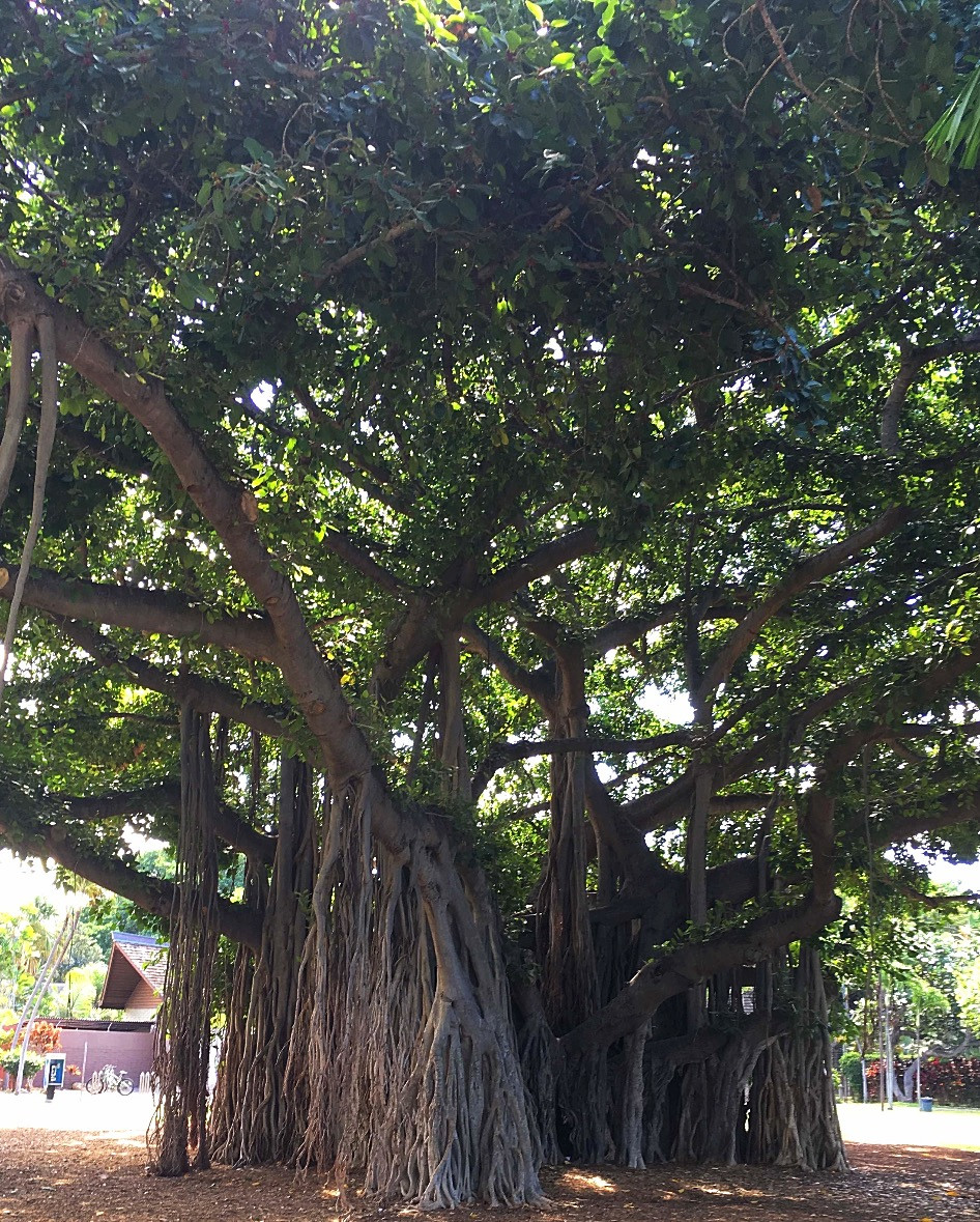 The Booth's magnificent banyan tree