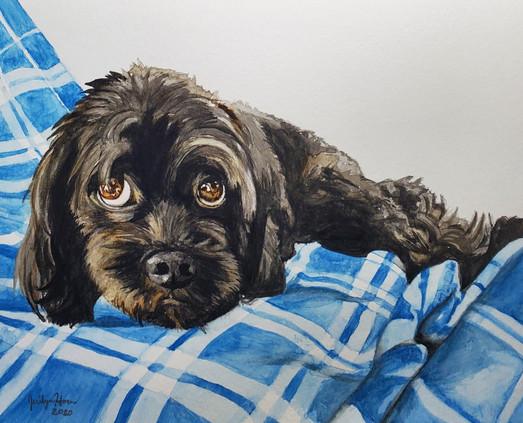 Shaffer Puppy
