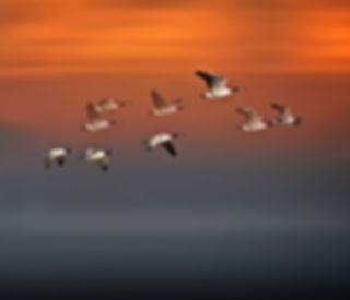 Flight-Sunset-Geese-In-Flight-Fog-Wood-R