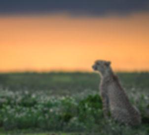 8.-ndutu-sunset-cheetah.jpg