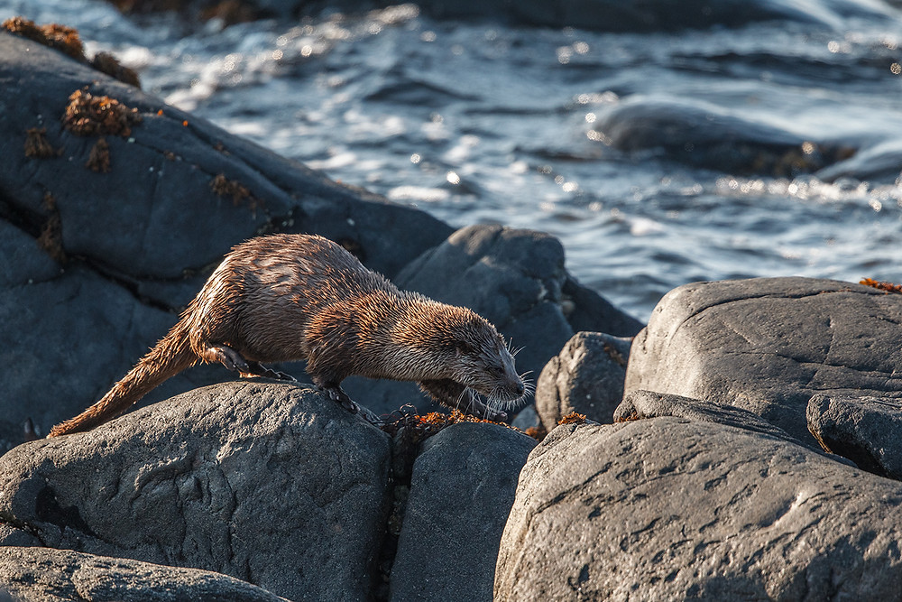 Otter on the rocks a highlight of a Scottish island holiday