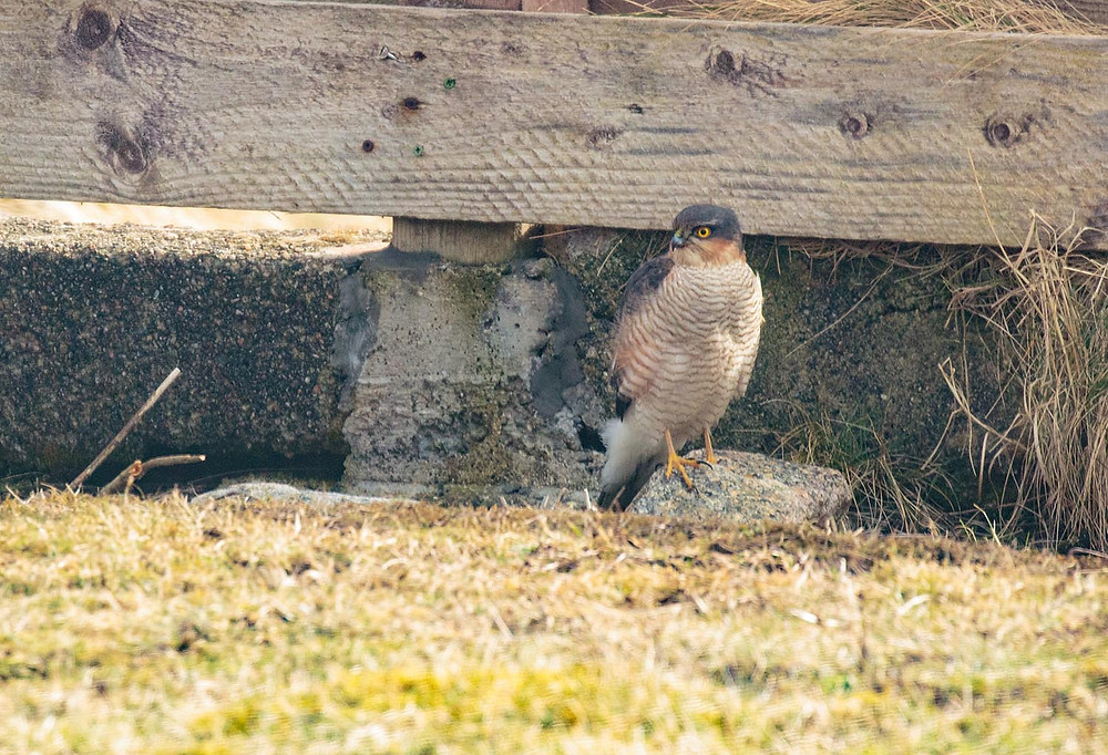 Male sparrow hawk in the garden