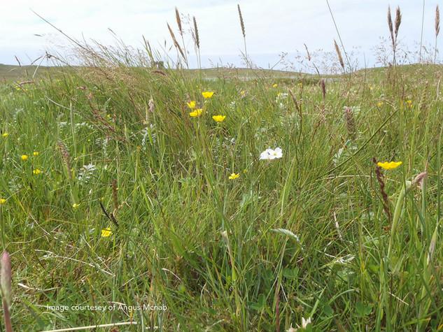 Flowering Machair at Scolpaig