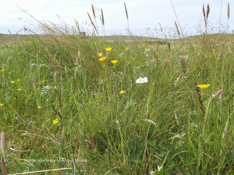 Flowers in the Machair at Scolpaig