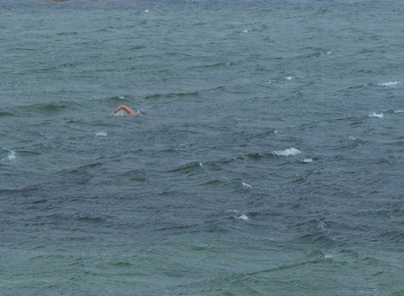 Swimming with white horses