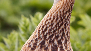 When and where to see Corncrakes in the UK