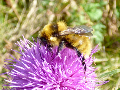 The Great Yellow Bumblebee Hunt