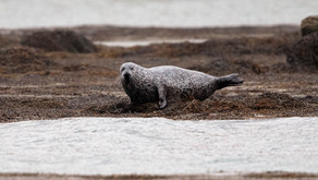 Seal watching on North Uist