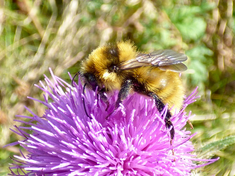 Great Yellow Bumblebee