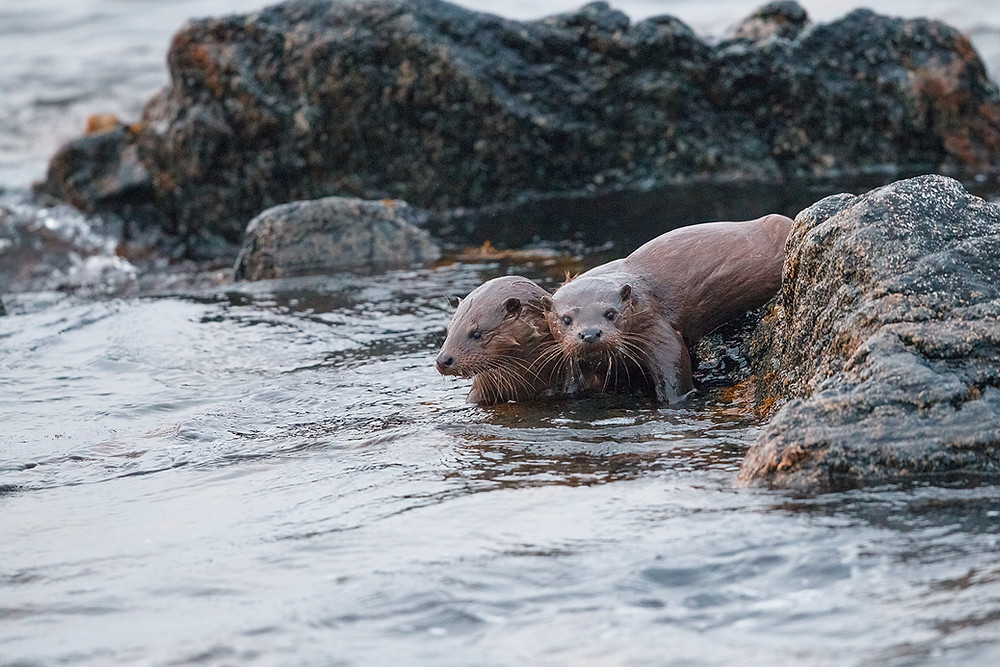Otter cubs waiting while their mother fishes in the Outer Hebrides.