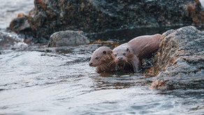When is the best time to watch for Otters?