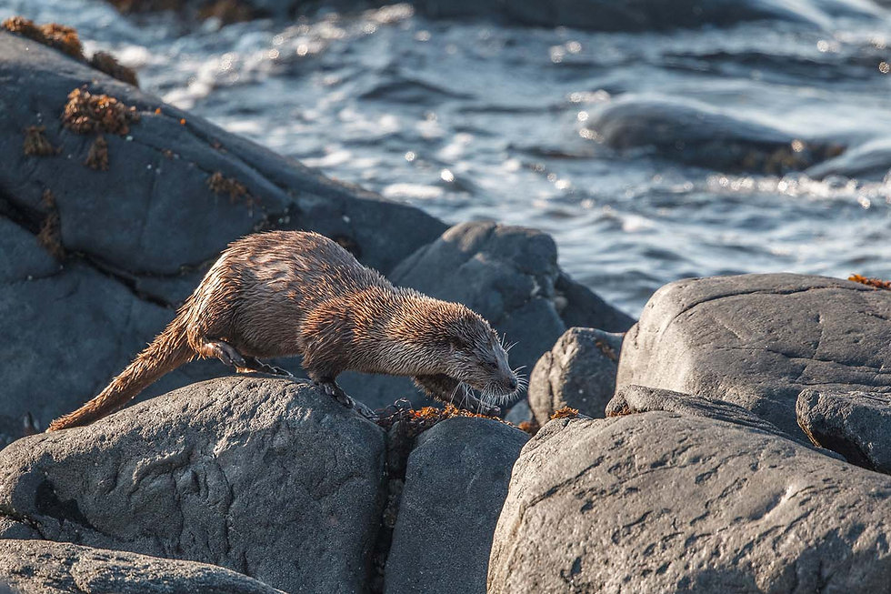 Otter on rocks, Outer Hebrides.jpg