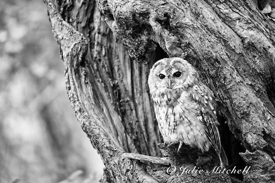 Tawny owl in black and white (Strix aluco)