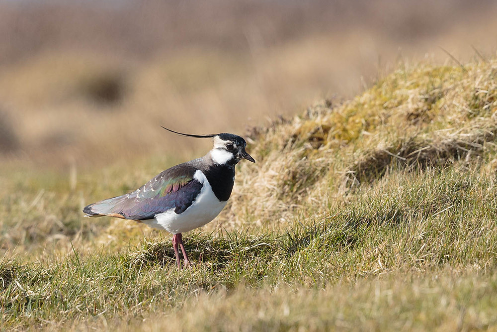 lapwing in breeding plumage