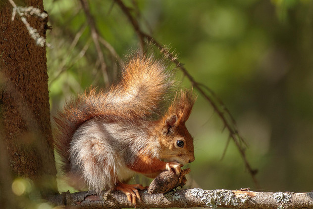 Red squirrel feast