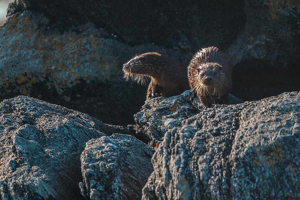Otter cubs waiting for their mother, RSPB Balranald