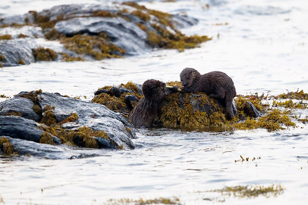 Otter cubs with an eel, RSPB Balranald, Outer Hebrides