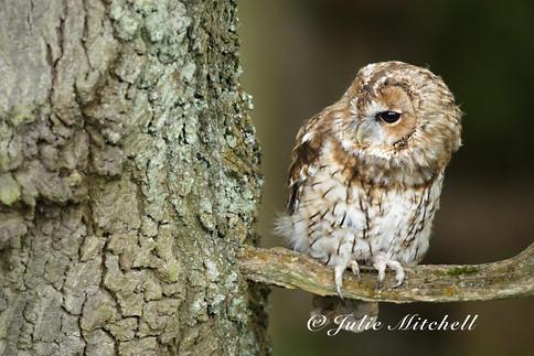 A Tawny owl peering round a tree (Strix aluco)