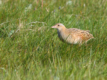 """Crex crex"" It's Corncrake time again..."