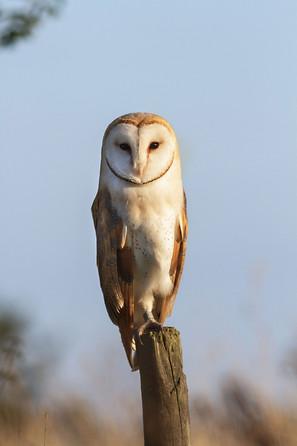 Wild Barn owl (Tyto alba)