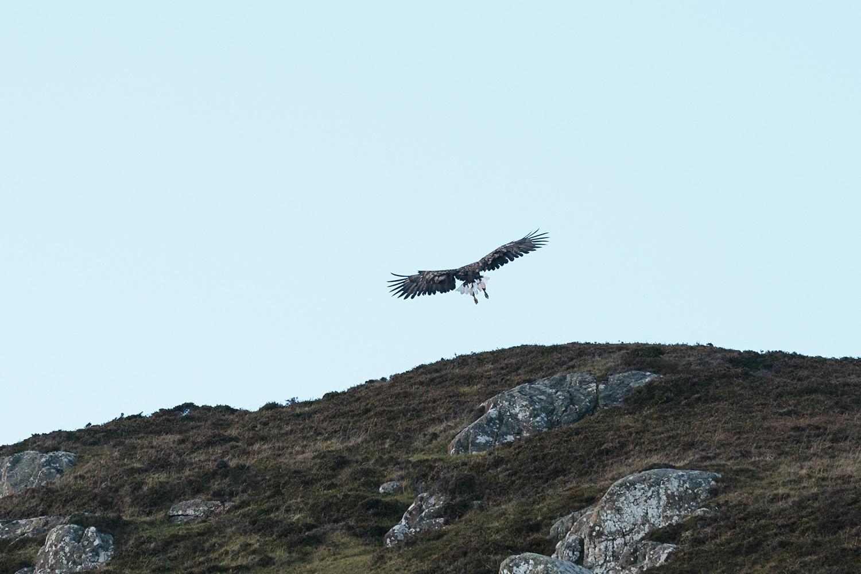 White tailed sea eagle landing