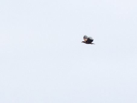 Golden Eagle seen through kitchen window