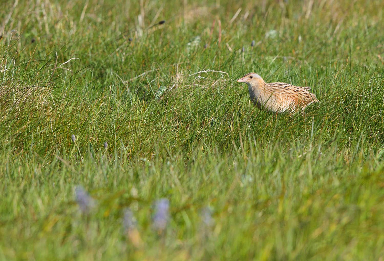 Corncrake in the grass