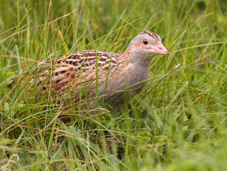 Corncrakes arrive in Balranald!