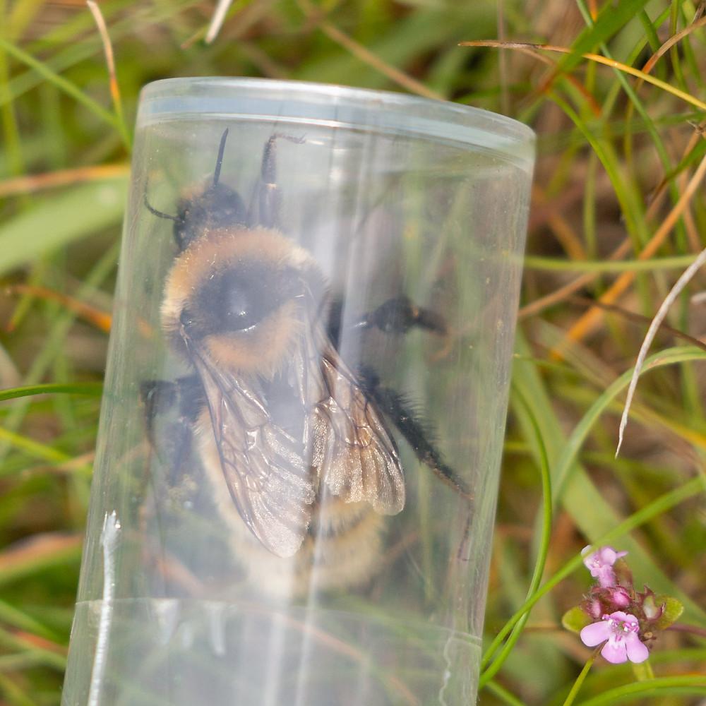 Great Yellow Bumblebee ID