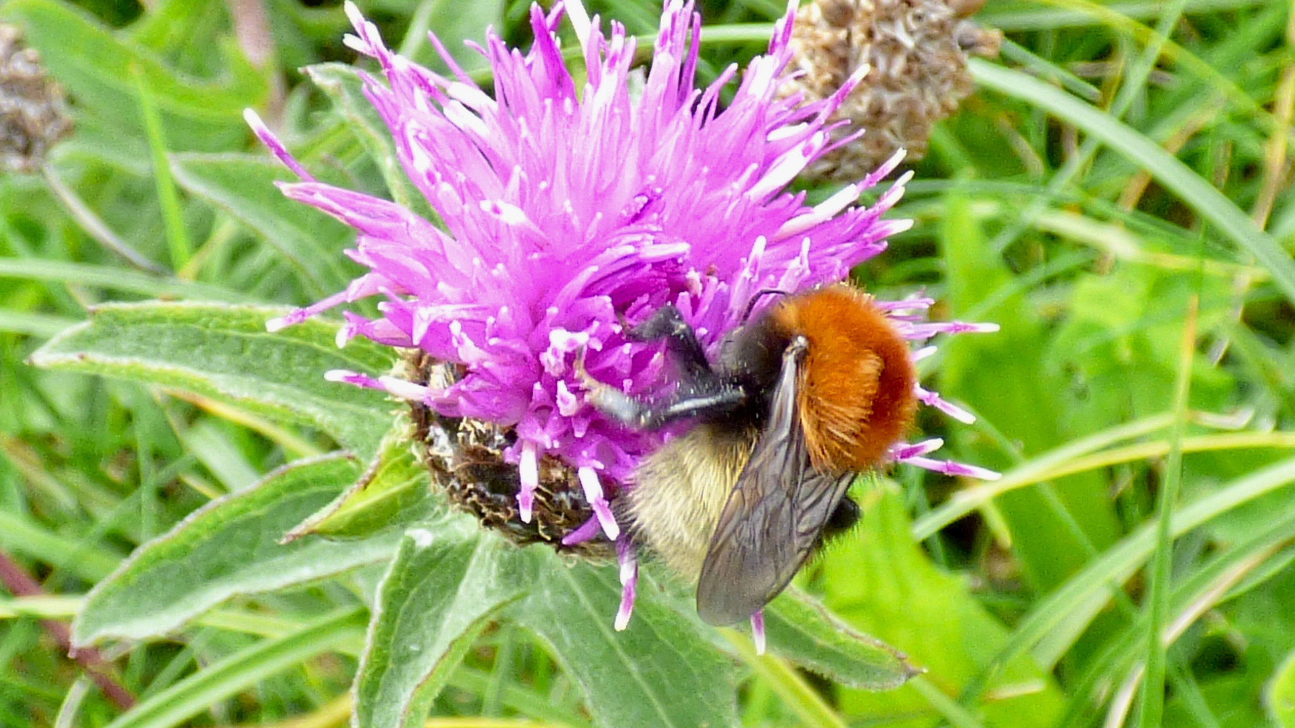 A Moss Carder Bee